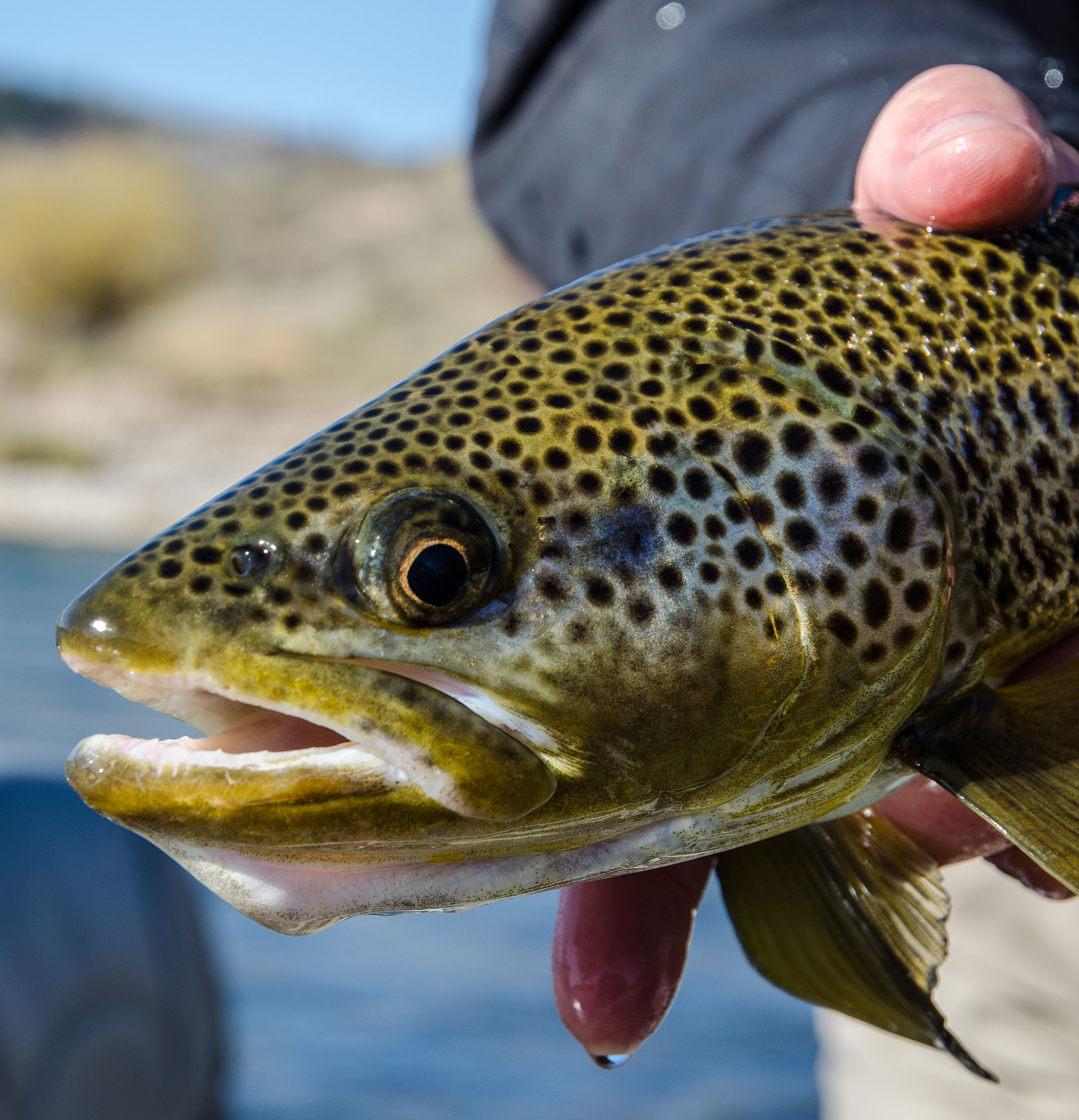 South fork of the snake trout population survey 2016 for Best fishing in idaho